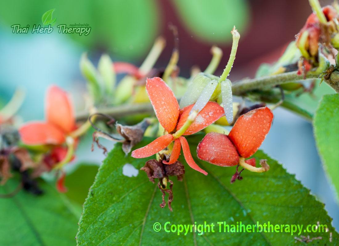 Thaiherbtherapy-ดอกปอกะบิด