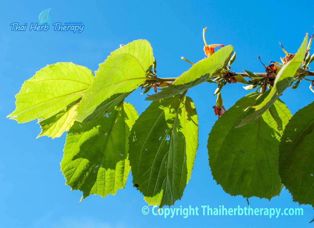 Thaiherbtherapy-ใบปอกะบิด