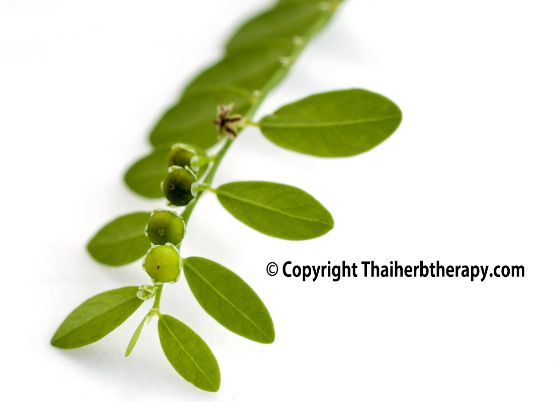 Thaiherbtherapy-ลูกใต้ใบ4