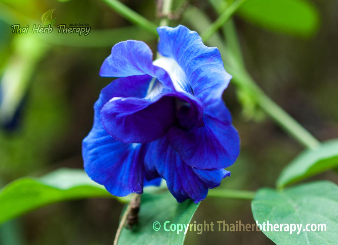 Thaiherbtherapy-ดอกอัญชัน